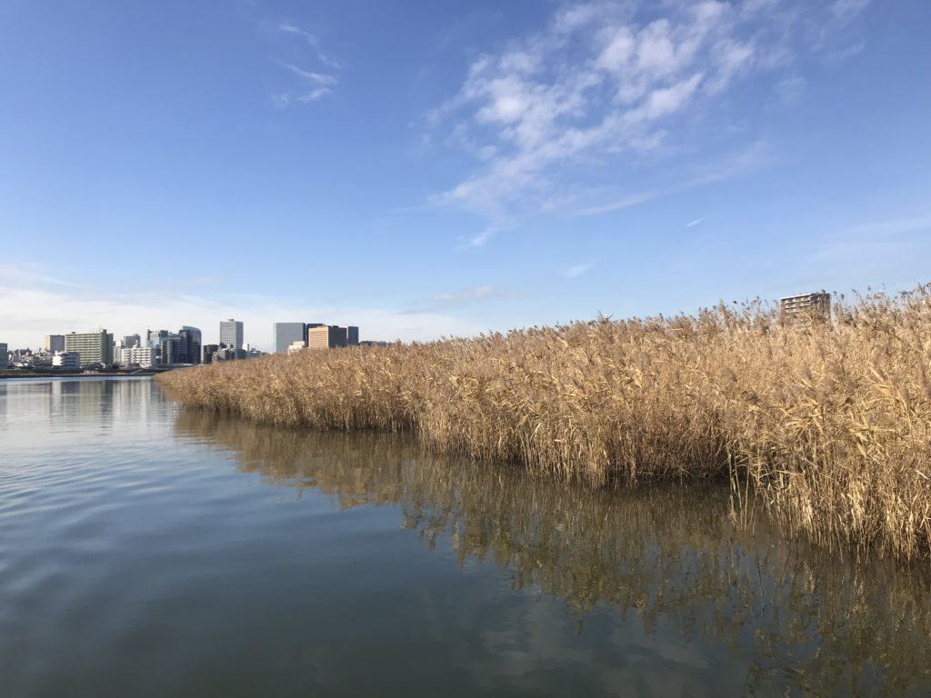 多摩川の蒲穂