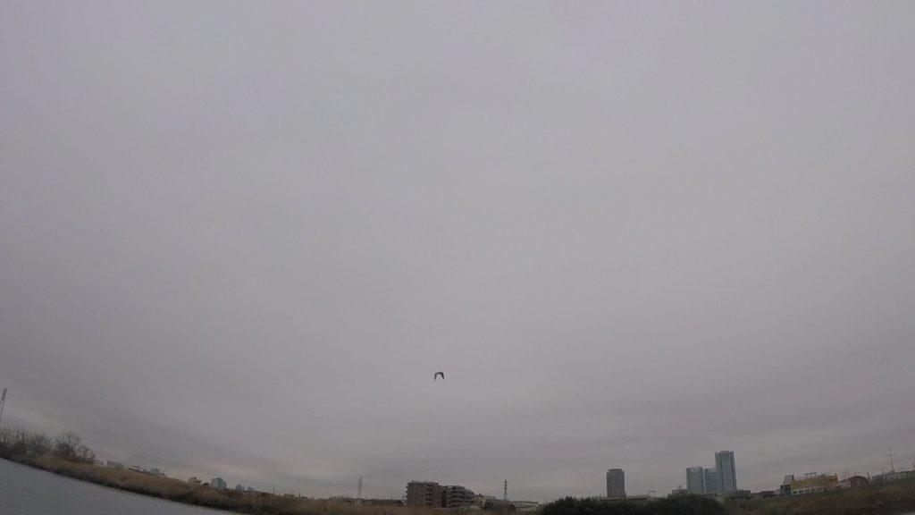 多摩川で冬にのみ見られるらしいウミネコ
