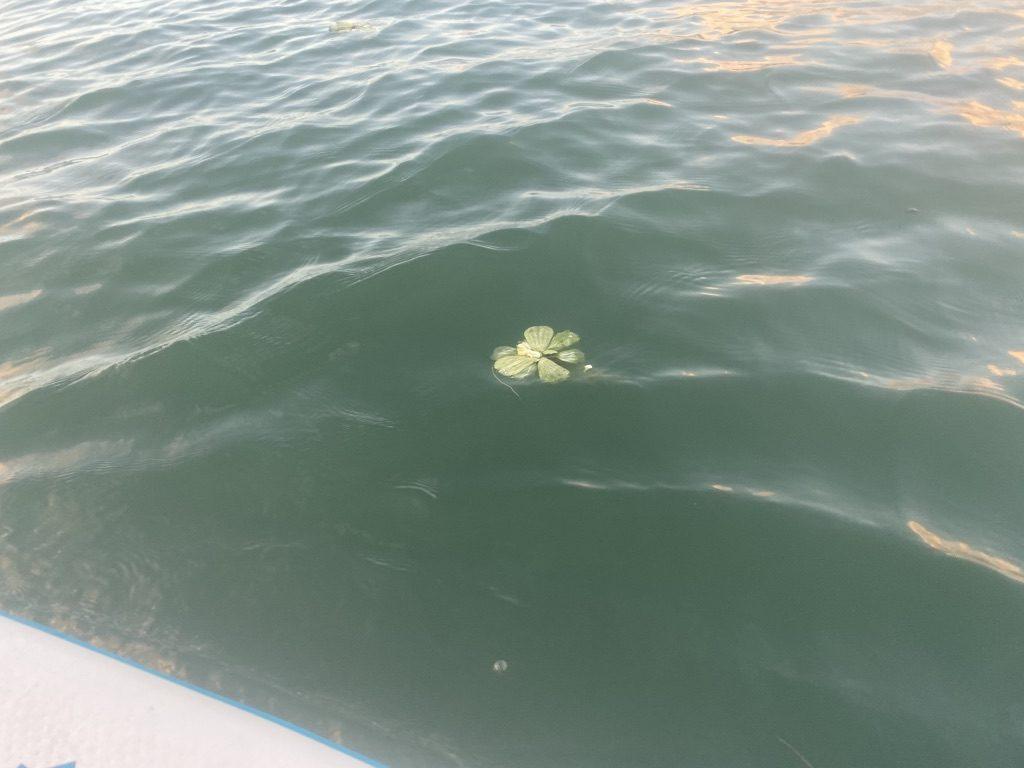 仕事帰りに夕日を追いかけてオクマSUP。プカプカ浮いてる植物と共に海を漂ってきました。
